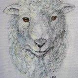 Regional Rare breeds. Grey Faced Dartmoor Sheep