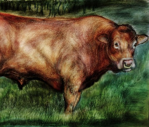 Limousin Cattle. Drawings and Paintings. Oil Paintings of Limousin Cattle.