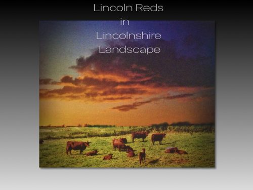 Lincoln Reds in Lincolnshire Landscape