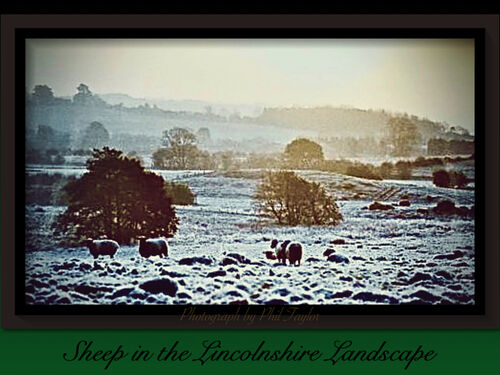 Sheep in the Lincolnshire Landscape by Phil Taylor