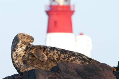 Grey Seal [Halichoerus grypus] and Longstone Lighthouse