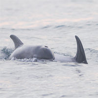 White-beaked Dolphins