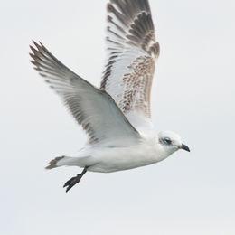 Mediterranean Gull [Icthyaetus melanocephalus]