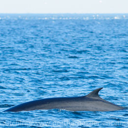 Minke Whale [Balaenoptera acutorostrata]