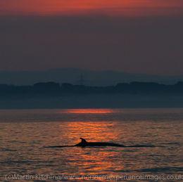 Minke Whale [Balaenoptera acutorostrata], sunset