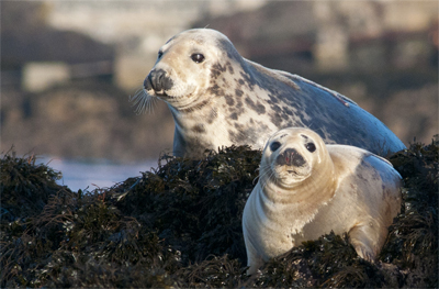 Grey Seals [Halichoerus grypus]