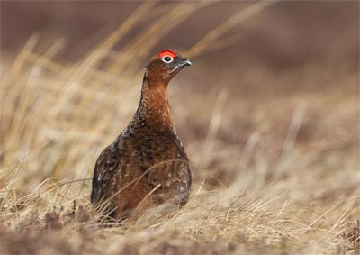 Red Grouse [Lagopus lagopus]
