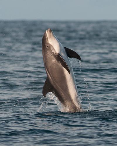 White-beaked Dolphin, Northumberland