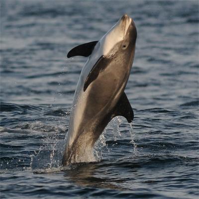 White-beaked Dolphin 1/3