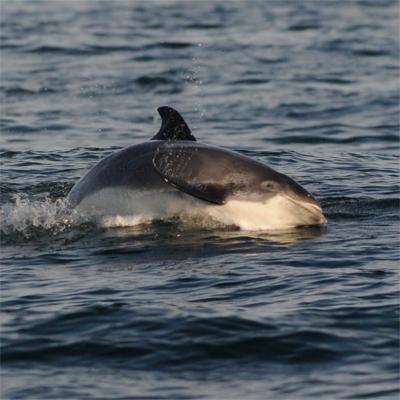 White-beaked Dolphin 3/3