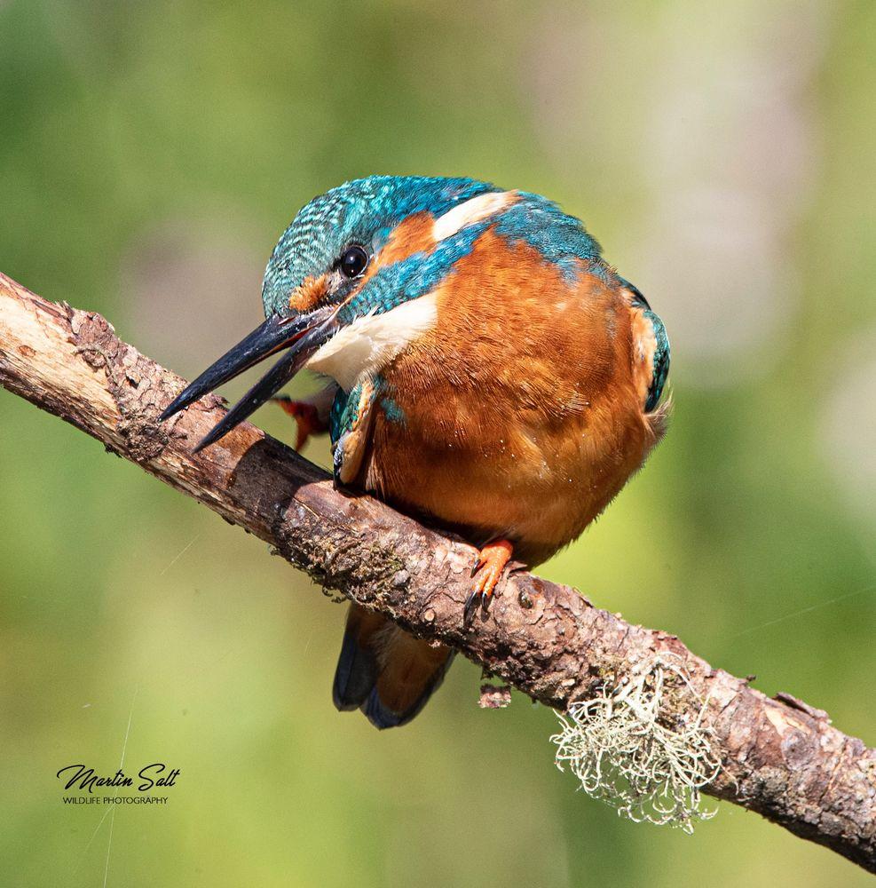 Kingfisher 2019