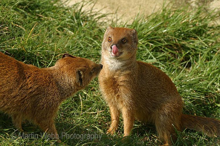 2180 Yellow Mongoose