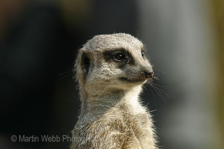 2186 Meerkat
