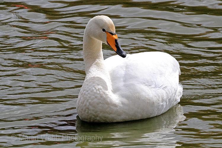 22435AC Whooper Swan