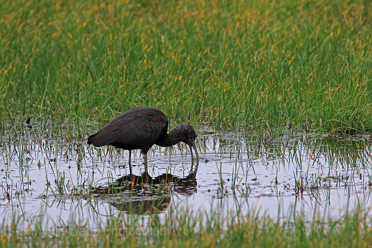 24771A Glossy Ibis