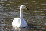 24785AC Whooper Swan