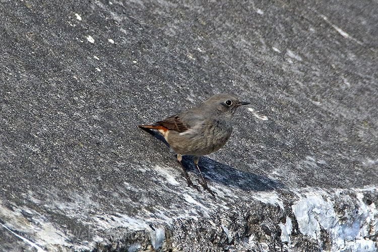 25021AC Black Redstart