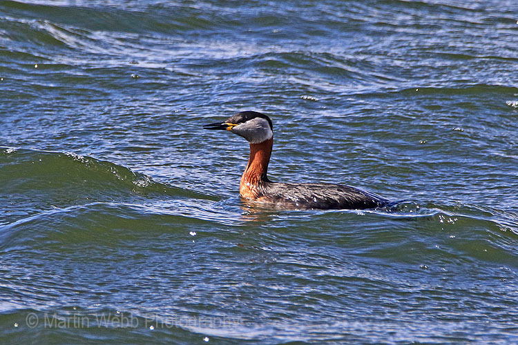 25136AC Red-necked Grebe