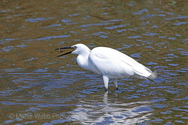 25674AC Little Egret