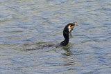 26279AC Cormorant