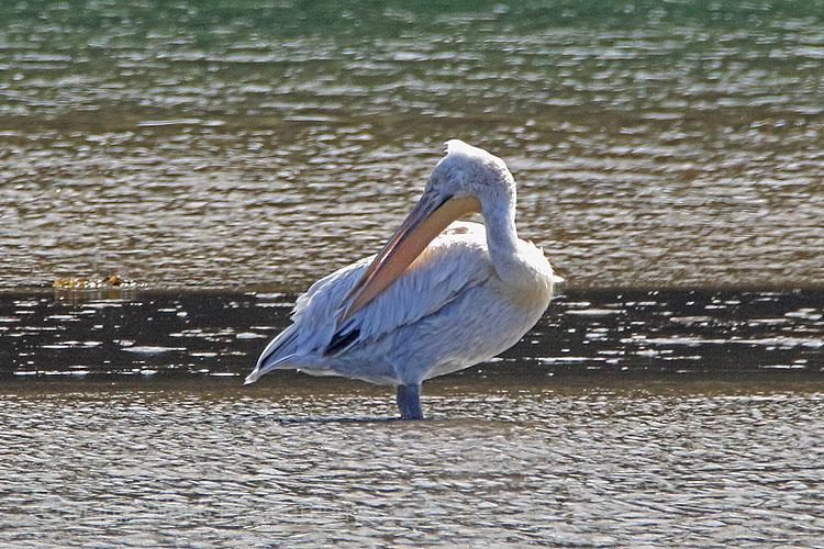 26537AC Dalmatian Pelican