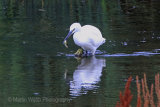 26562AC Little Egret