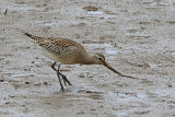 26910AC Bar-tailed Godwit