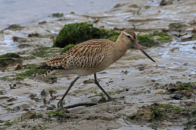 26916AC Bar-tailed Godwit