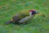 27602AC Green Woodpecker