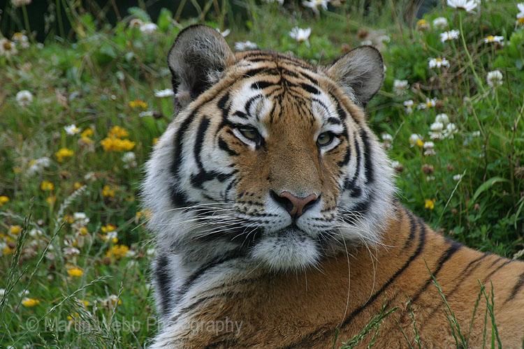 2770 Siberian Tiger