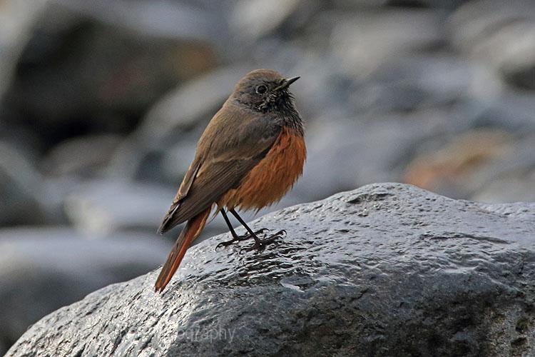 27930AC Eastern Black Redstart