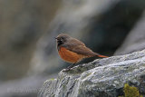 27940AC Eastern Black Redstart