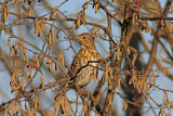 28006AC Song Thrush