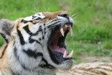 2806 Siberian Tiger