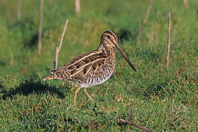 28268AC Common Snipe