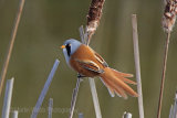 28429AC Bearded Tit