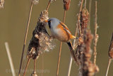 28470AC Bearded Tit