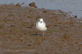 28595AC Little Gull