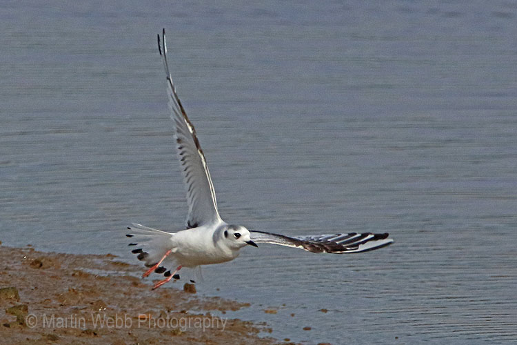 28598AC Little Gull