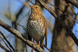 28982AC Song Thrush