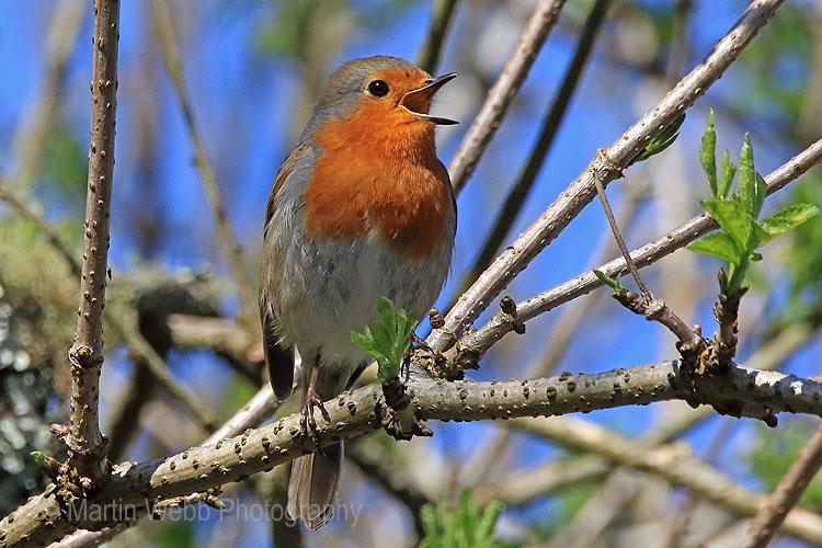 28986AC Robin