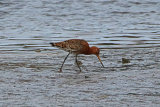 29411AC Black-tailed Godwit