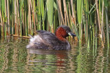 29504AC Little Grebe