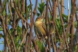 29549AC Sedge Warbler