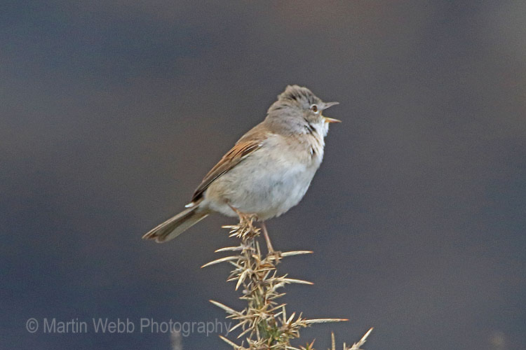 29686AC Whitethroat