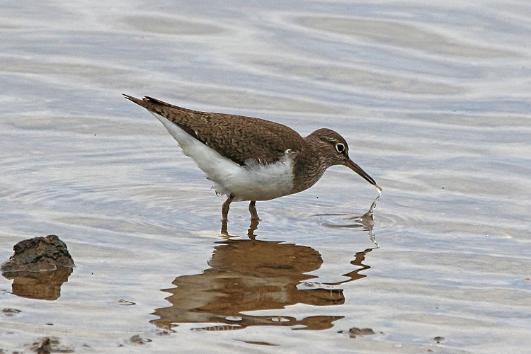 29754AC Common Sandpiper