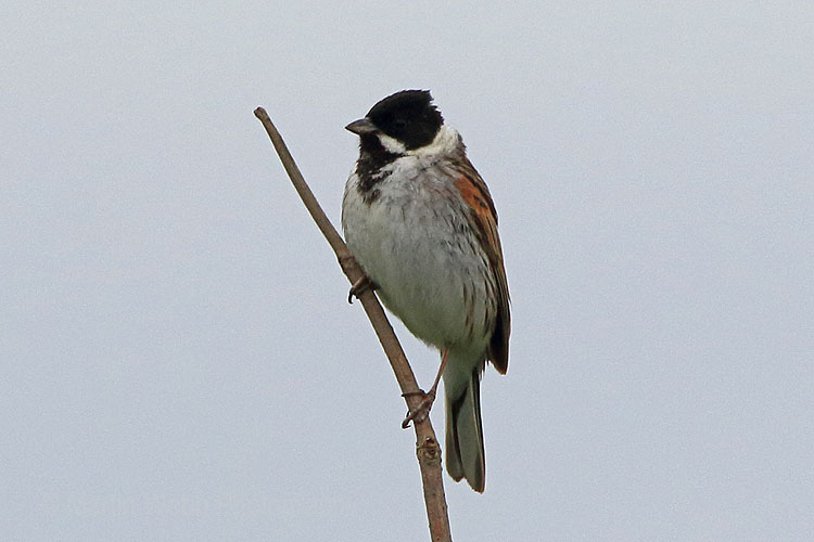 29771AC Reed Bunting