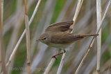 29813AC Reed Warbler