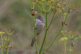 29825AC Whitethroat