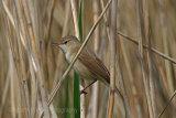 29833AC Reed Warbler